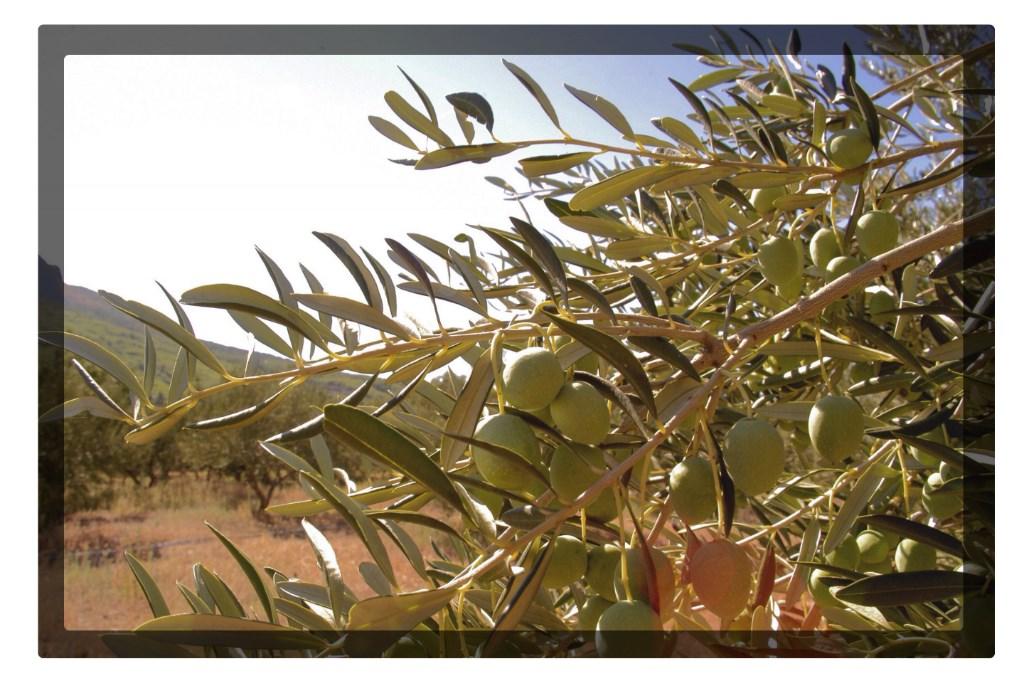 Olivi Dalmazia