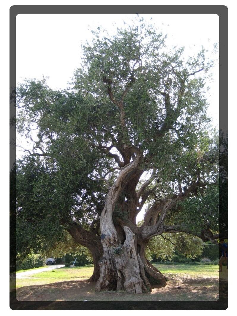 vecchio albero di oliva